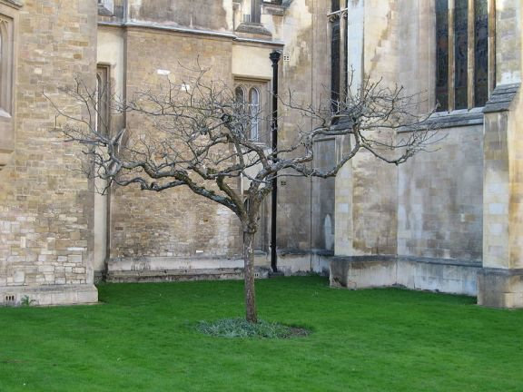 800px-Supposedly_Isaac_Newton's_apple_tree
